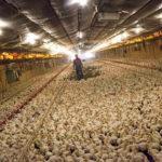 Российскую аналитическую ИИ-платформу интегрировали с датской системой управления фермами