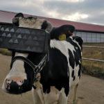 Подмосковные коровы ушли в виртуальную реальность — там им спокойней
